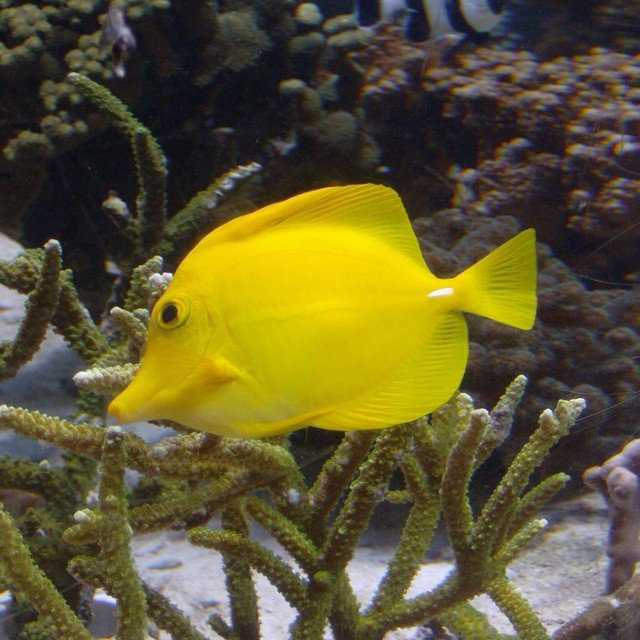 Yellow fish at Epcot