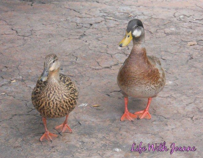 Universal Studios ducks