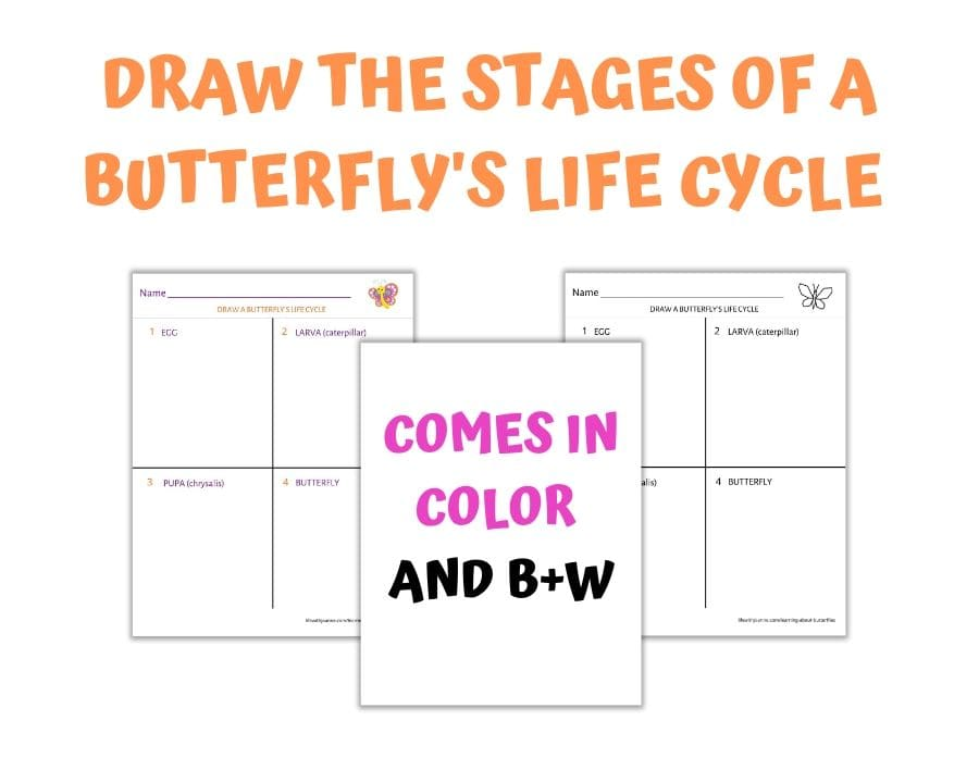 Worksheet Drawing Butterfly Life Cycle